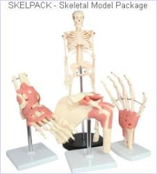 Skeleton Model Package - Special offer Save 15% on idividual prices